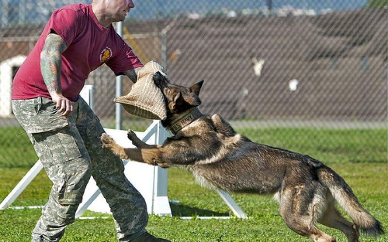 Phương pháp huấn luyện chó bảo vệ chủ thành công